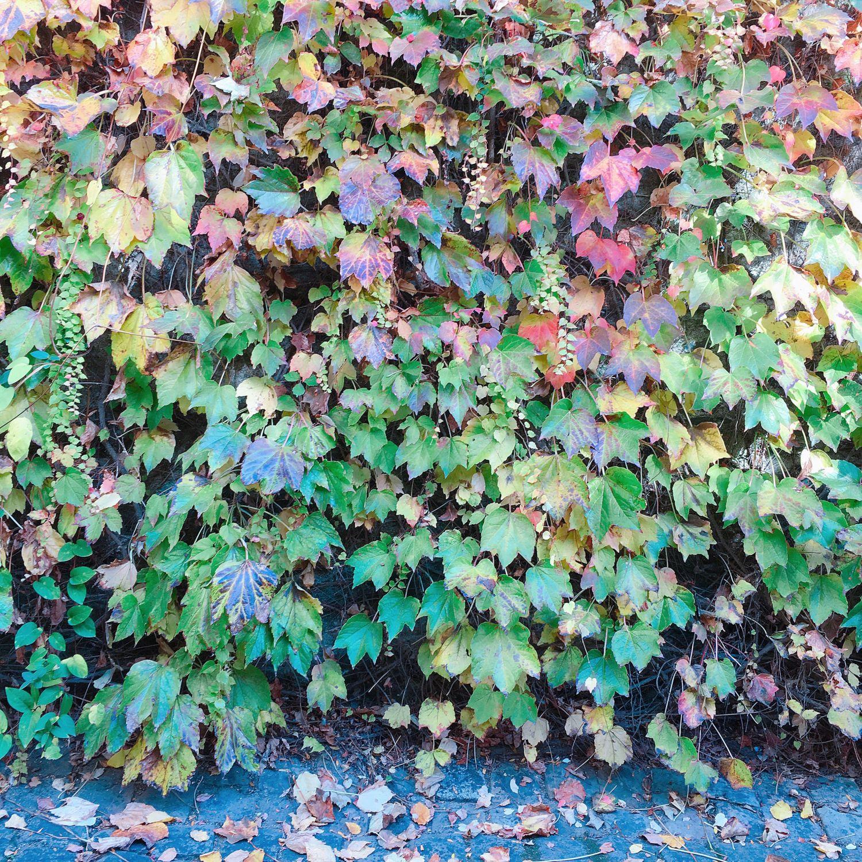 1610_automne_mur-feuilles
