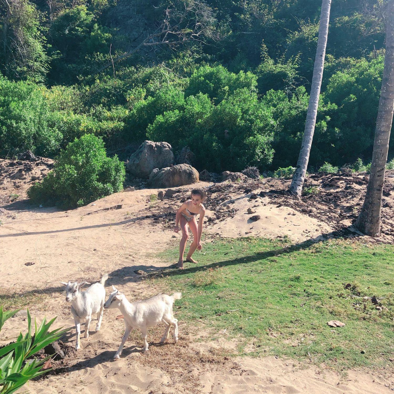 guadeloupe - les saintes - baie de Pompierre - plage et chèvres