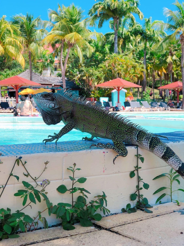 pierre et vacances guadeloupe - piscine - iguane