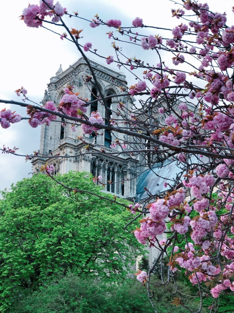 Notre-Dame de Paris - square Jean XXIII - prunus serrulata